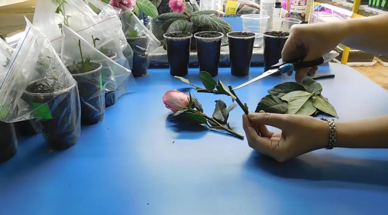Выращиваем розу из букета черенкованием
