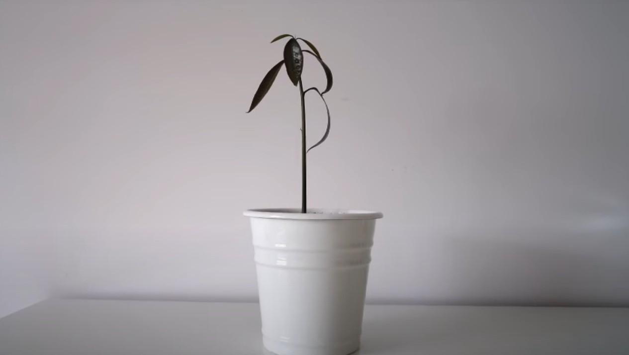 Как вырастить манго из косточки дома