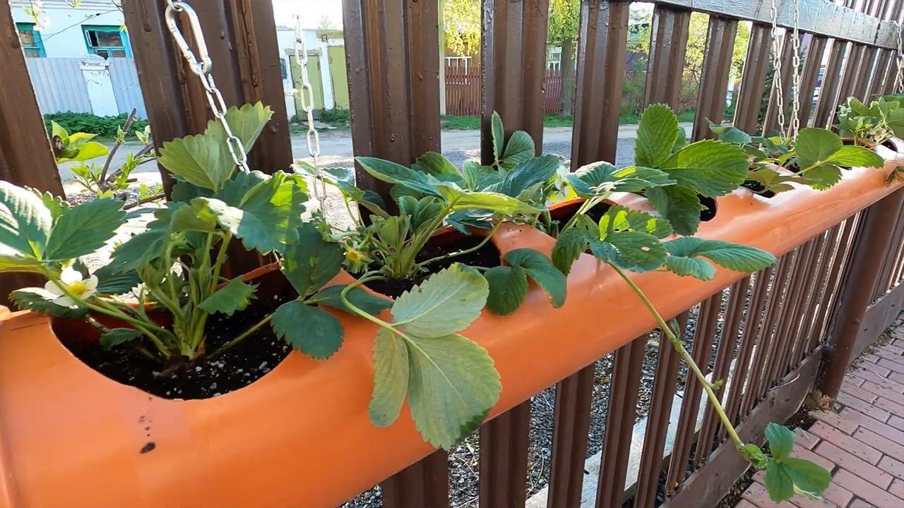 Выращиваем клубнику в трубах ПВХ: пошаговая инструкция