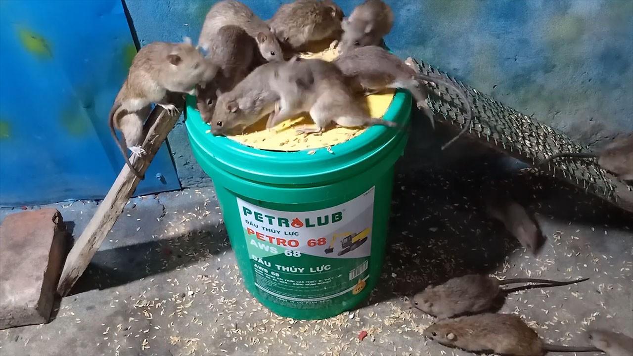 Эффективная крысоловка из пластикового ведра