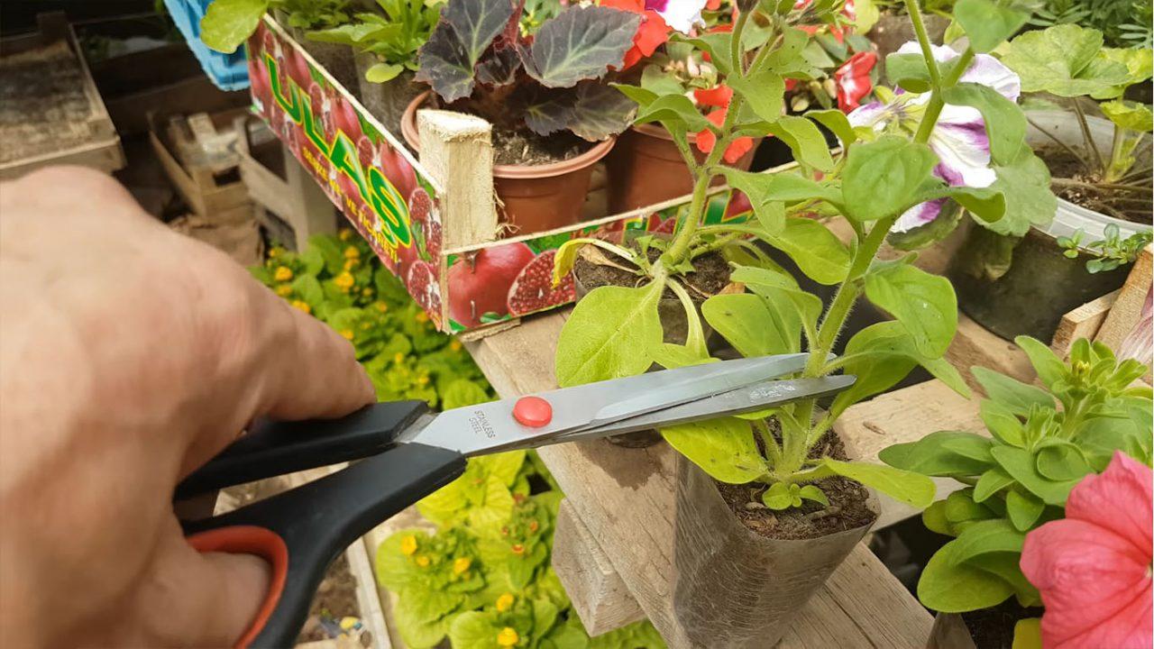 Как формировать, обрезать петунию для пышного цветения