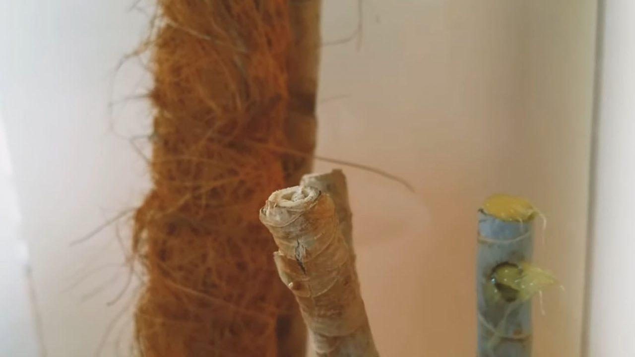 Правильная обрезка драцены для получения боковых побегов