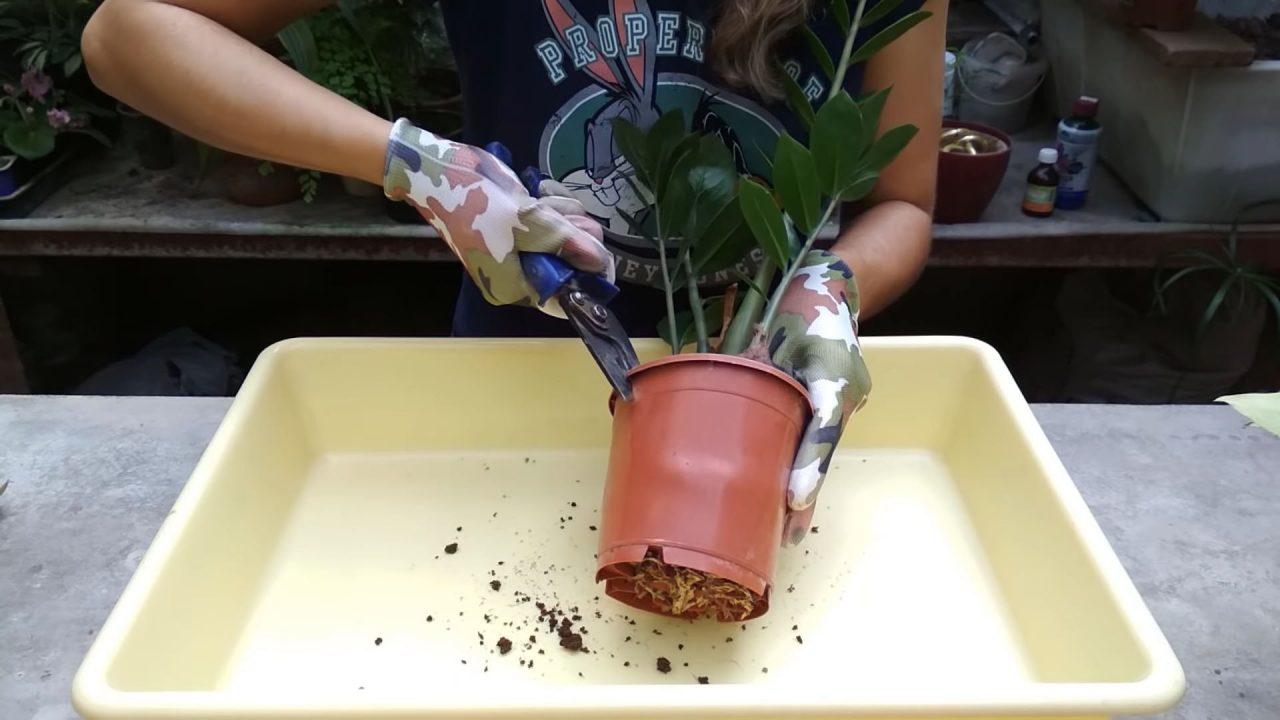 Как пересадить долларовое дерево в другой горшок