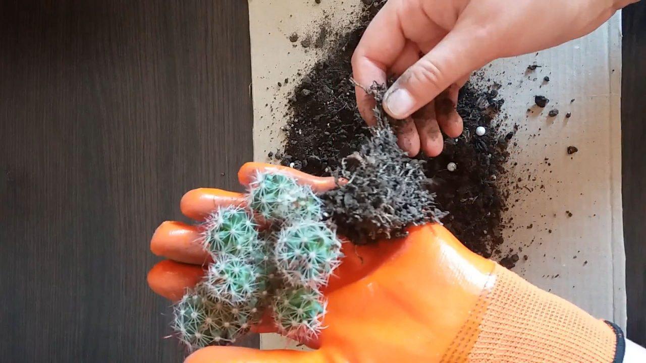Как правильно пересаживать кактусы в другой горшок