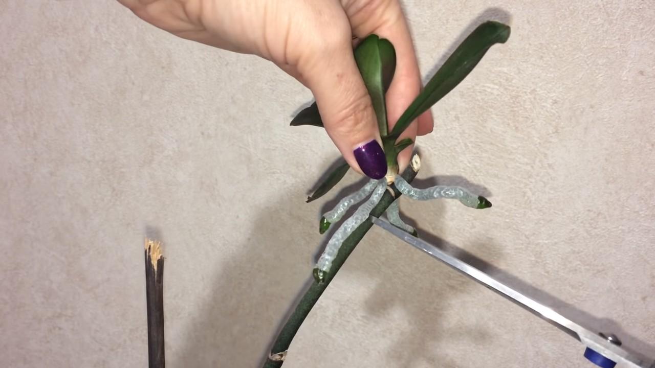 Как правильно пересадить отросток орхидеи