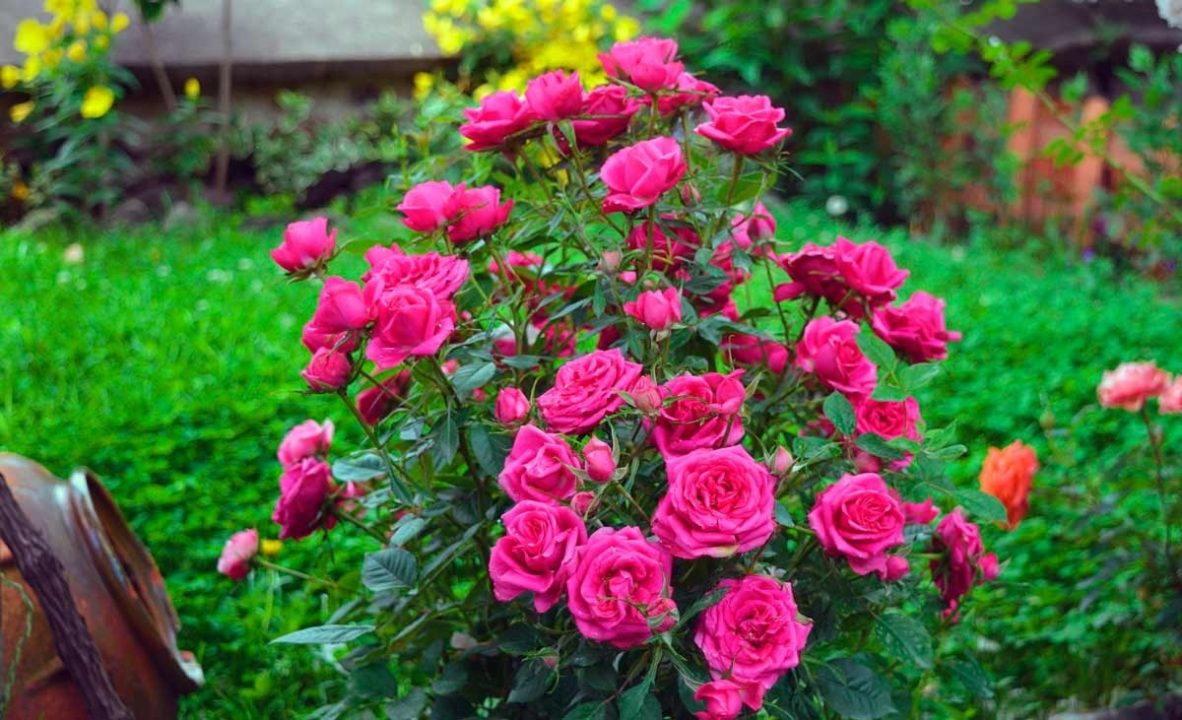 200 картинок с самыми красивыми розами
