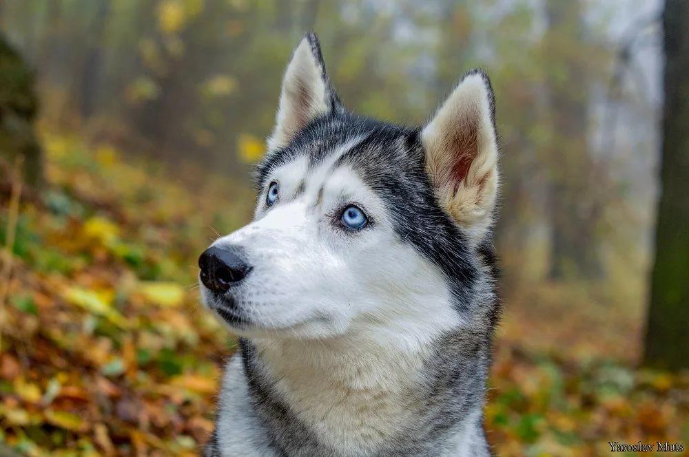Собаки породы Хаски: 105 фото