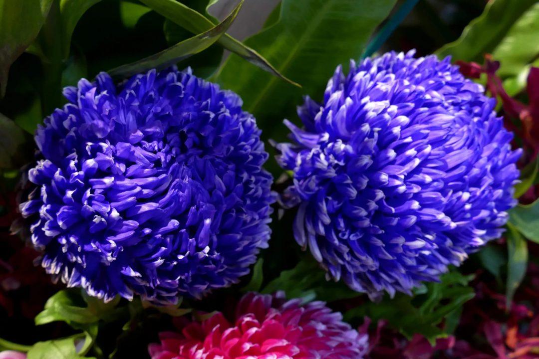Хризантемы: 120 фото красивых цветов