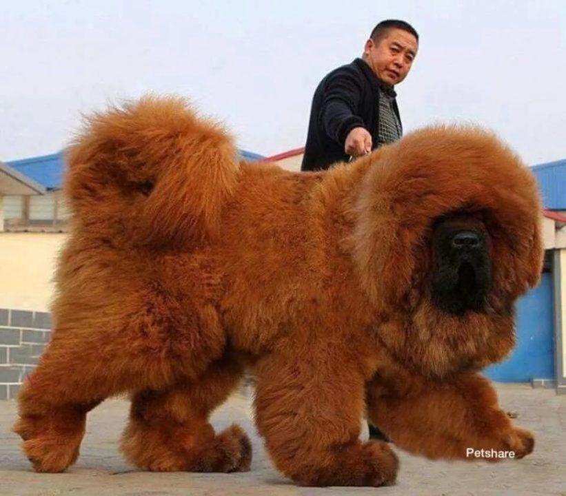 Тибетский мастиф: 100 фото с человеком и не только