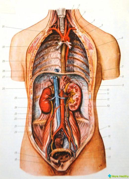 Органы человека: расположение в картинках