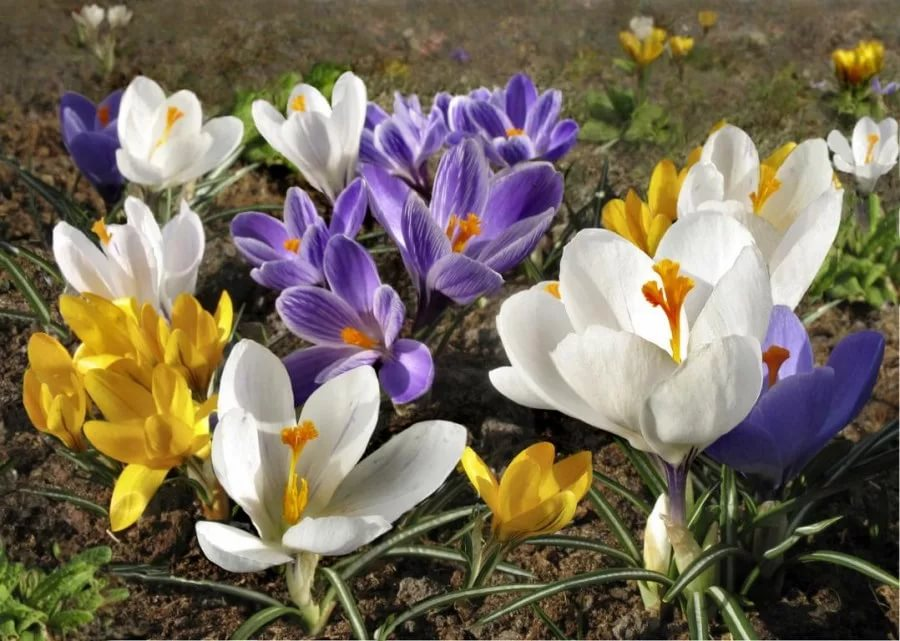 Крокусы (шафраны): 108 фото цветов