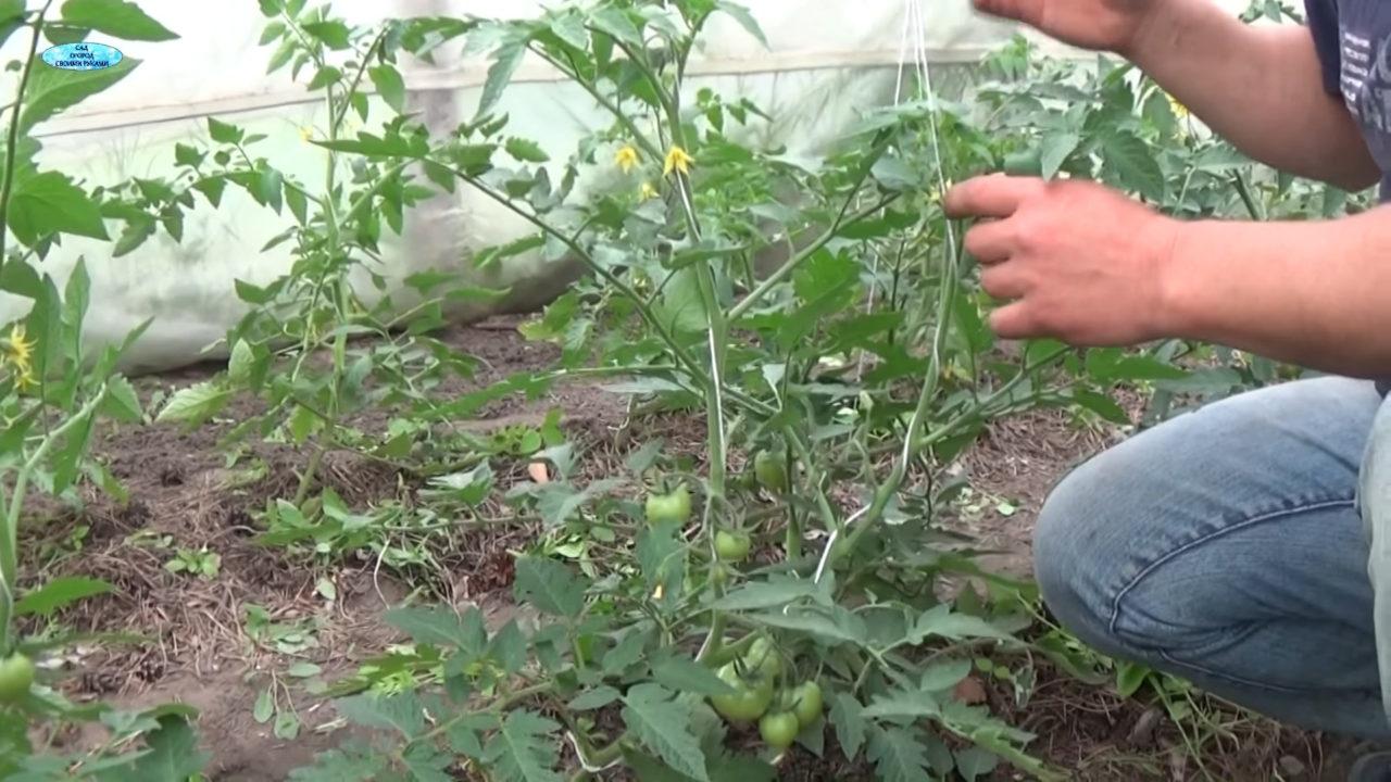 Как удалять пасынки на помидорах